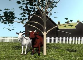 the grass texture is on the ground.  The cow-vp2234 is next to the small maple tree.  The large goat is next to the cow.  The barn is 20 feet behind the cow.  The white picket fence is in front of the barn. The fence is 70 feet wide.