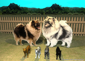 the first keeshond. the second keeshond is to the left of the first keeshond. the second keeshond is facing back.  the first cat is 1 foot in front of the keeshonds.  the first cat has a zebra texture. the second cat is 5 inches right of the first cat.  the black cat is 8 inches right of the second cat. the espresso brown cat is 8 inches left of the first cat.   the background. the ground is grass. the 20 foot long fence is 6 feet behind the keeshonds.  the sky is aqua. the orange illuminator is 4 feet above the first cat.