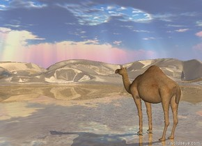The camel is in the shiny desert.