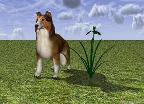 collie. flower. the ground is grass.