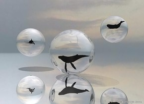 The ground is reflective silver. There is an extremely large clear sphere.  The extremely tiny whale is 4.8 feet in the sphere .  There is a second extremely large clear sphere 10 feet to the left of the sphere. The second sphere is 2 feet above the ground. The second extremely tiny whale is 3.3 feet in the second sphere. It is facing east. The third extremely large clear sphere is 2 feet to the right of  and 10 feet behind the sphere. The third sphere is 5 feet above the ground. The third extremely tiny whale is 2.9 feet in the third sphere.