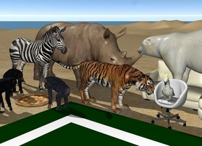 the ground is sand.  a large pizza.  first 3 foot tall chimp is left of the pizza.  second 3 foot tall chimp is in front of the pizza.  third 3 foot tall chimp is right of the pizza.  first chimp is facing east. second chimp is facing north. third chimp is facing west.  the 8.2 foot tall rhinoceros is 3 feet in back of the pizza. the rhinoceros is facing east.  the 4 foot tall couch is right of the rhinoceros.  the 6 foot tall bear is on the couch. the bear is facing west.  the chair is in front of the couch.  the 2.4 foot tall cockatoo is on the chair.  the 4.4 foot tall tiger is left of the chair. the tiger is facing the chair.  the 7.7 foot tall zebra is -1.4 feet left of the tiger. the zebra is facing east.  a mat is in front of the chair.