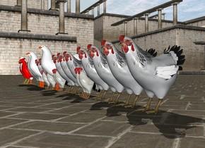 100 chickens Opposite 100 chickens
