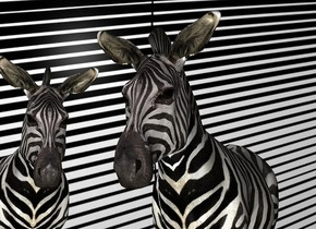 a item backdrop.a 1st zebra.a 2nd zebra is left of the 1st zebra.it is facing southeast.a gray light is 1 feet in front of the 1st zebra.gainsboro sun.