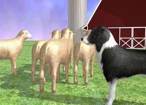 ground is grass.  a 1st sheep. a 2nd sheep is left of and -2 foot in front of the 1st sheep. a 3rd sheep is right of and -2.5 feet in front of the 1st sheep. a 4th sheep is in front of and right of the 3rd sheep. a 5th sheep is left of 4th sheep. a border collie is behind the 1st sheep. it is left of the 2nd sheep. it faces right. a barn is 40 feet in front of the sheep. a 6th sheep is 1 foot right of the 3rd sheep. it faces southwest. camera light is dim. ambient light is linen.