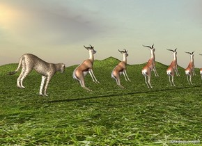 10 gazelles are leaning 40 degrees to the back. They are facing right. A cheetah facing right is to the left of them. He leans 20 degrees to the front. The ground is grass.