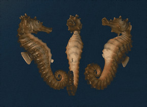 a 1st 100 inch tall seahorse.sky is 60% dim petrol blue.ground is invisible.the 1st seahorse leans 20 degrees to back.a 2nd 50 inch tall seahorse is 20 inch in front of the 1st seahorse.the 2nd seahorse leans 40 degrees to back.the 2nd seahorse is facing  northeast.a 3rd 100 inch tall seahorse is -15 inch right of the 1st seahorse.the 3rd seahorse is facing southwest.the 3rd seahorse leans 40 degrees to back.ambient light is gray.a 1000 inch tall maroon illuminator.