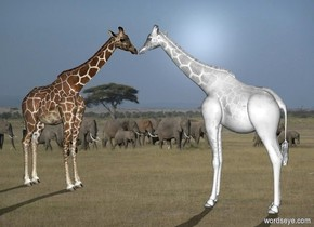 africa backdrop.a 1st white giraffe.a 2nd giraffe is 2 inches in front of the 1st giraffe.it is facing north.