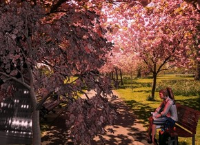 Cherry backdrop. A 65% dark red cherry tree. A red light is left of and above the tree. A dark 30% shiny bench is 3 feet right of and -8 feet in front of the tree. It is facing west. Azimuth of the sun is 160 degrees. Camera light is black. A pink light is 2 feet above and behind the bench. A woman is -2.8 feet above and -1.3 foot left of the bench. She is facing west. The sun is pink. A flat silver wall is -6 feet left of the tree. The sky is city. It is leaning 48 degrees to the front. A bag is in front of the woman.