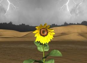 sunflower in the desert