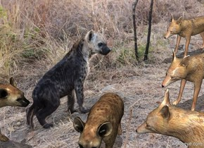 Hyena backdrop. It is noon. 2nd   hyena is 2 feet in front of the hyena. He faces west. A jackal is .5 feet south of him. He faces north. 2nd jackal is 2 feet east of him. He faces northwest. 3rd jackal is 2 feet east of him. He faces northwest.