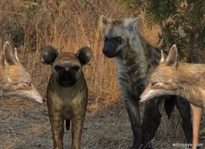 Hyena backdrop. It is noon. 2nd   hyena is 0 feet in front of the jackal. He faces west. A jackal is 1.25 feet south of him. He faces north.